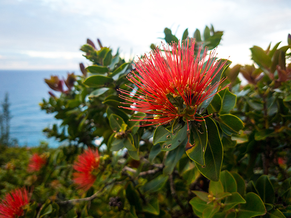 Red 'Ohi'a lehua flower on native Hawaiian tree with ocean in the background